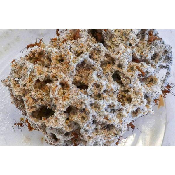 Acromyrmex octospinosus 100-200