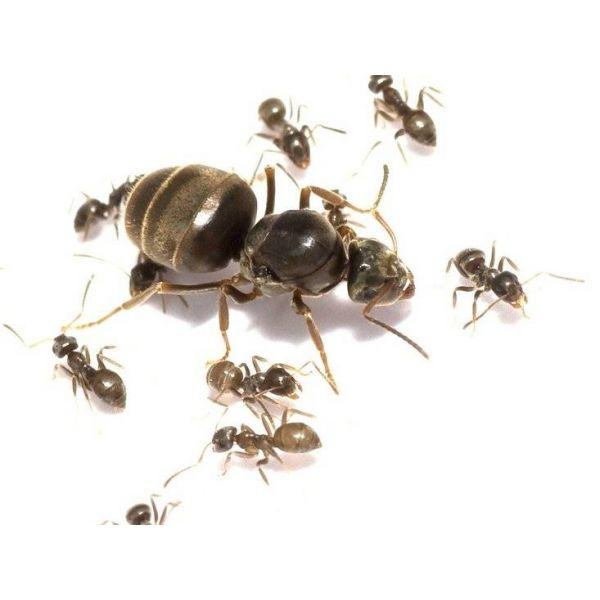 lasius niger kolonie koningin en 5 10 werksters 3