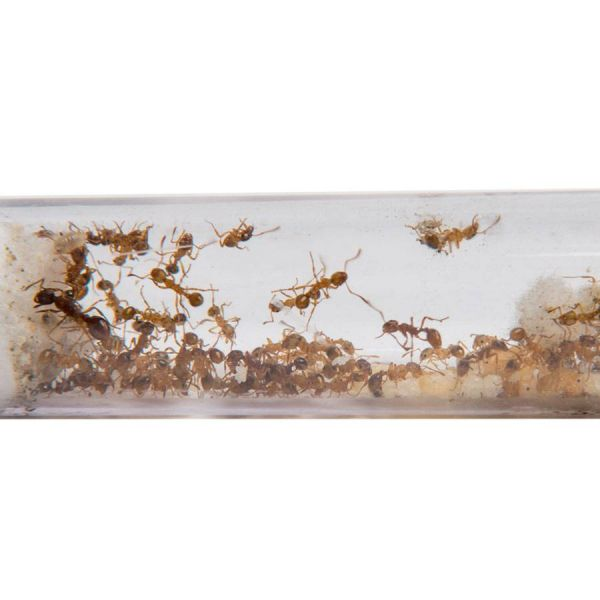 Ant's Kingdom Myrmica rubra 2 queens 10+  Testtube