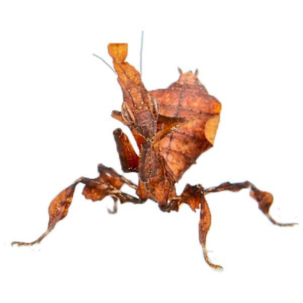 Ghost mantis paradoxa