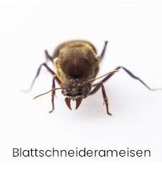 Blattschneider ameisen