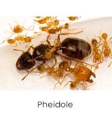 Pheidole ameisen kolonie