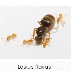 Lasius flavus ameisen kolonie