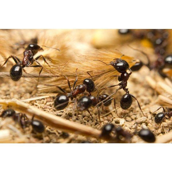 Ant's Kingdom Ant Family XL