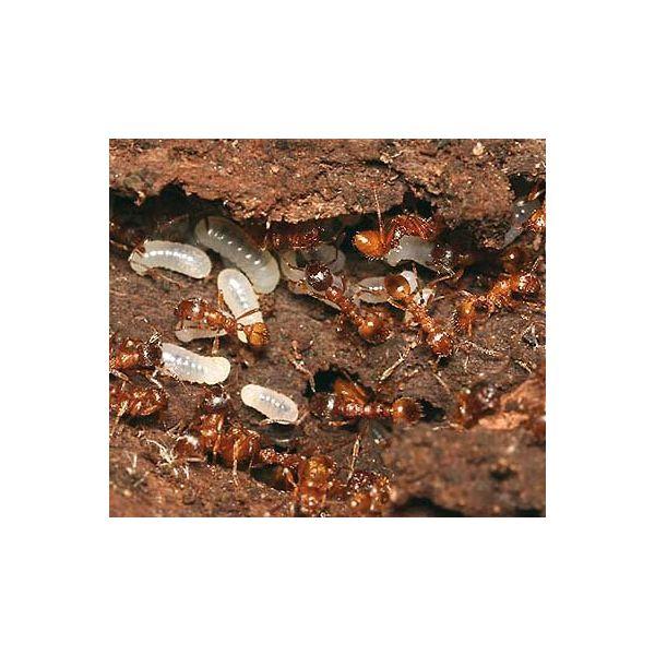 Ant's Kingdom Myrmica rubra 2 queens 50+ underground