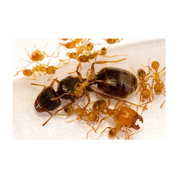 Ant's Kingdom Pheidole sp. 60+